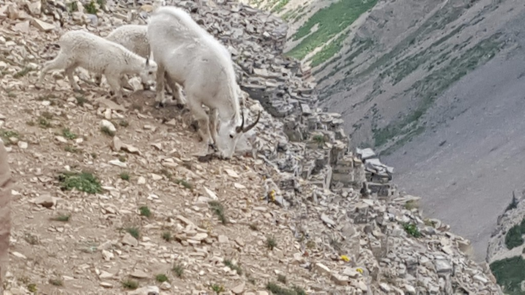 Mountain Goats rule!